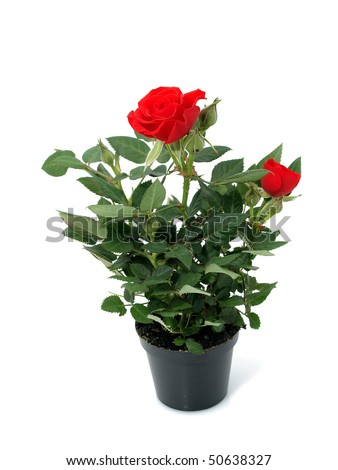 Red Rose in the flowerpot