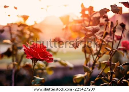 Red rose in the garden - stock photo
