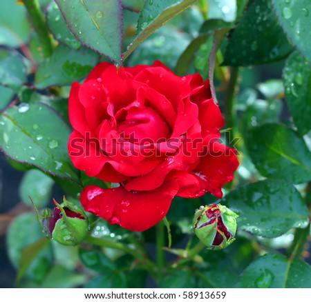 Red rose in the garden. After rain. Shallow DOF. - stock photo