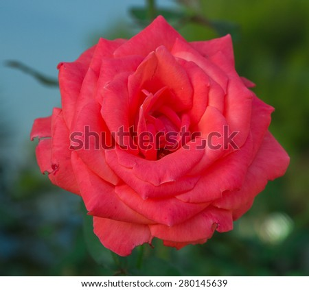 Red rose in the garden. Selective focus