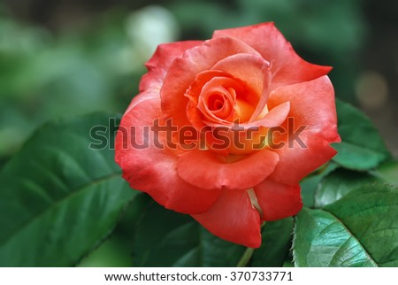 Red rose in the green foliage - stock photo