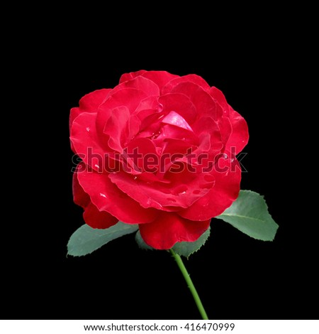 Red rose isolated on a black background - stock photo