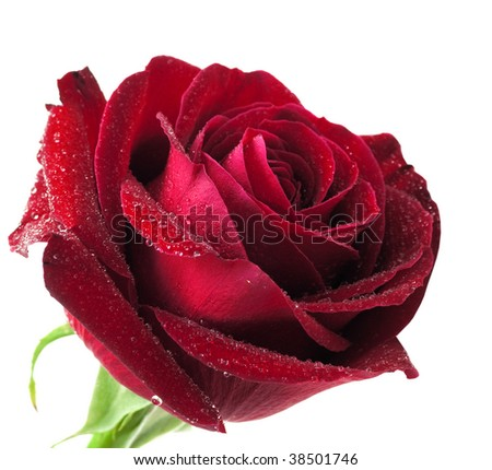Red rose isolated on a white - stock photo