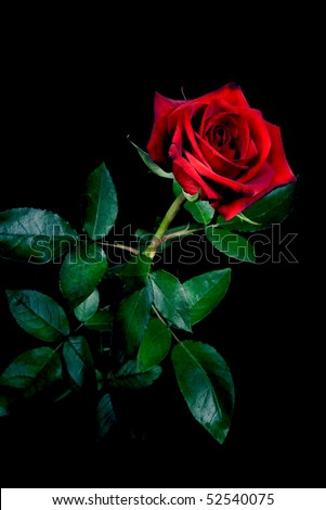 Red rose isolated on black - stock photo