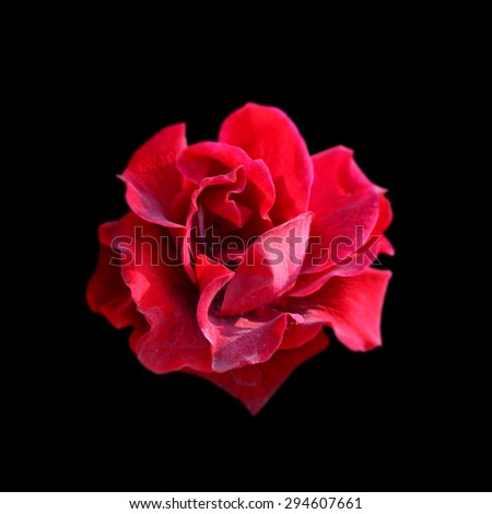 Red rose isolated on black background - stock photo