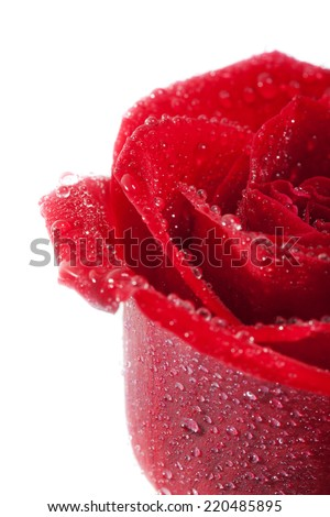 Red rose isolated on the white background with water drops