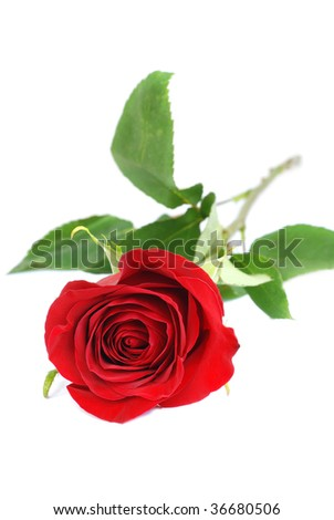 Red rose isolated on white