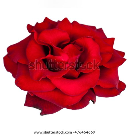 Red rose isolated on white background, angle view.