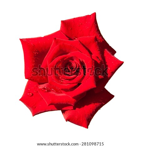 red rose isolated on white background. Top View on Big Red Rose Flower - stock photo