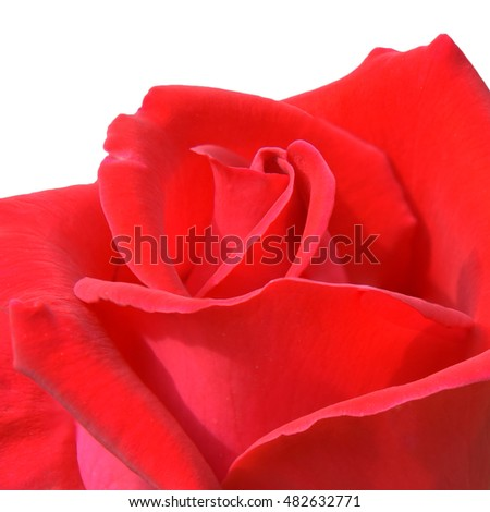 Red rose isolated on white background with clipping path.