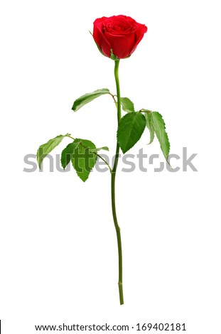 Red rose isolated on white. Love, romance and valentine's day - stock photo