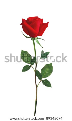 Red Rose isolated over white - stock photo