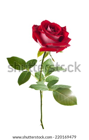 red rose. isolation - stock photo