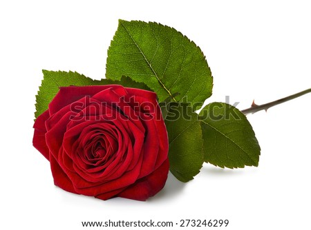 red rose laying on a white background with a soft shadow. - stock photo