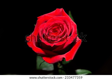 Red rose on a black background. - stock photo