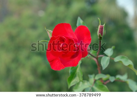 red rose on a green background closeup - stock photo
