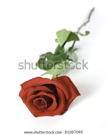 Red Rose on a White Background - stock photo
