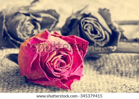 Red rose on black and white color background. Vintage style. - stock photo