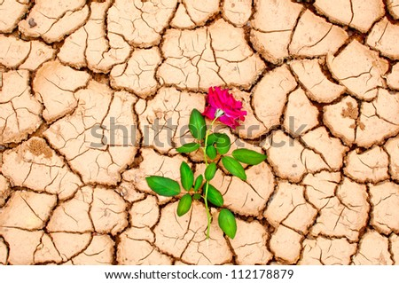 Red rose on cracked ground