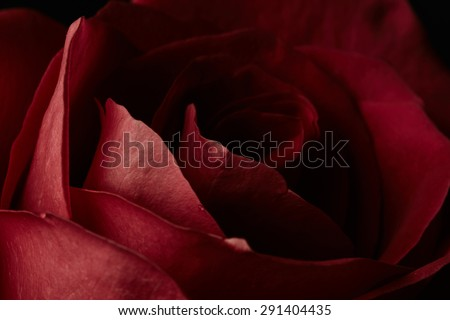 Red rose on dark background - stock photo