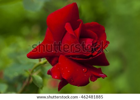 Red rose on green blurry background