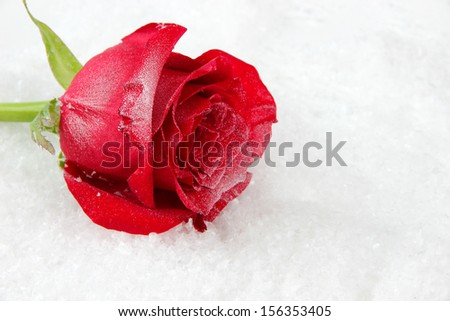 Red rose on snow background