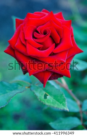 Red Rose on the Branch in the Garden. Bright Red Rose for Valentine's Day. - stock photo