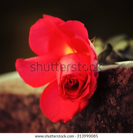 Red rose on the tombstone - stock photo