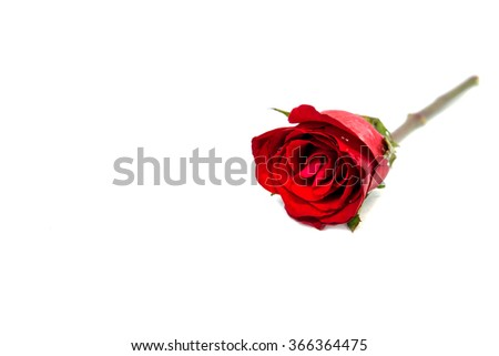 Red rose on white background. - stock photo