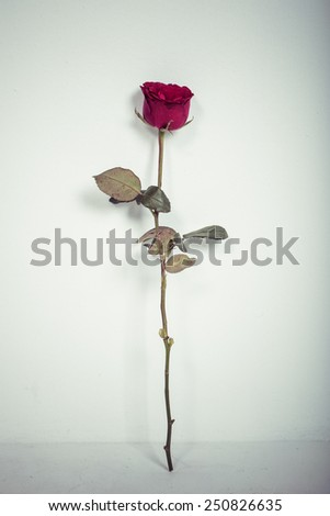 red rose on white background, process color - stock photo
