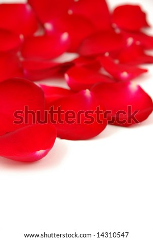 Red rose petals in isolated white, with copyspace
