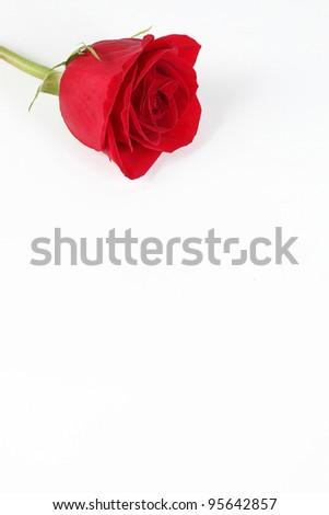 red rose taken closeup on white background - stock photo