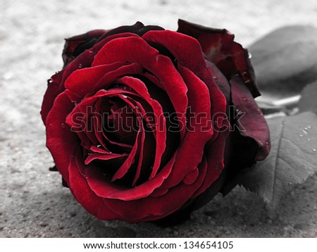 Red rose. Toned style. - stock photo