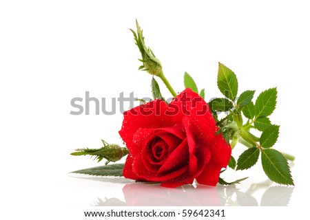 Red rose with buds and water drops - stock photo