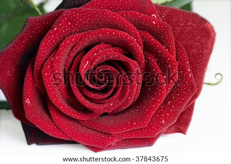 red rose with dew drops close up - stock photo