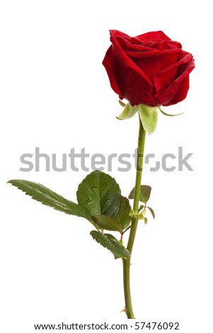 red rose with dew drops isolated on white - stock photo