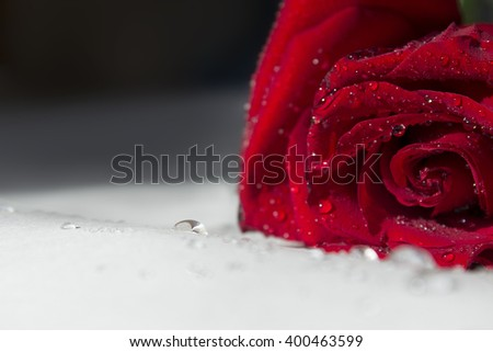Red rose with dew drops on petals, black and white background - stock photo