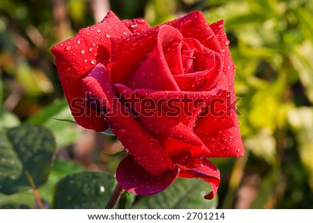 red rose with drops - stock photo