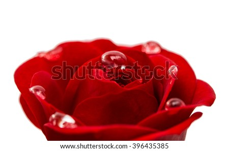 red rose with drops close-up