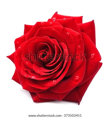 Red rose with drops isolated on white background - stock photo