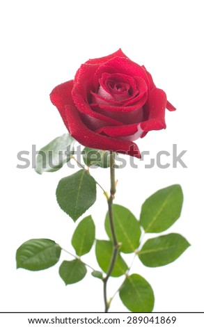 Red rose with drops of dew. isolated - stock photo