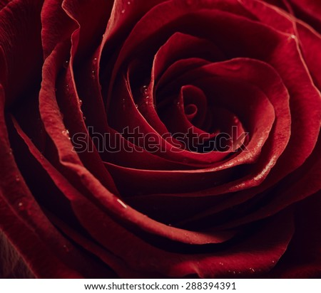 Red rose with drops of water - stock photo