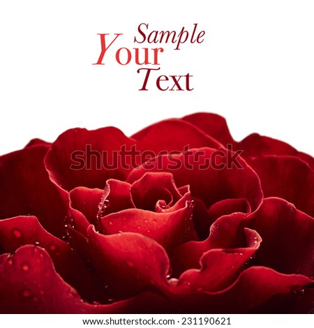 Red rose with drops of water isolated on white background - stock photo