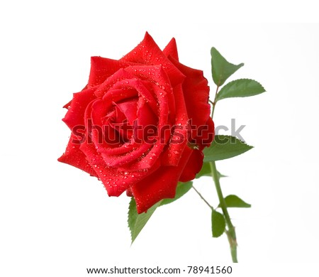 Red rose with early dew isolated on white - stock photo