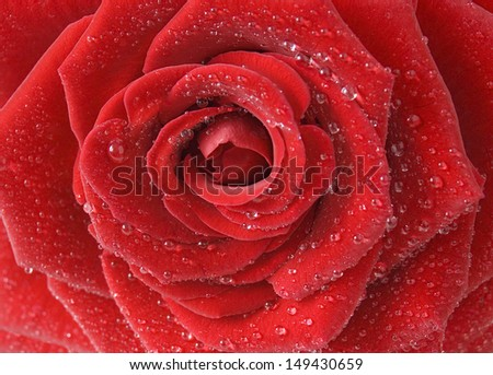 Red rose with early dew macro - stock photo