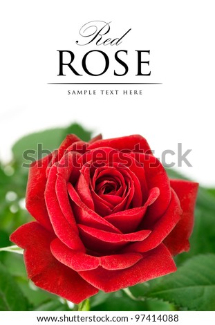 red rose with green leaf isolated on white background - stock photo