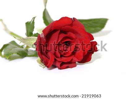 Red rose with green leaves. Isolation on white background.