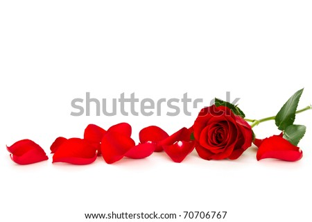 red rose with loose petals isolated on white background - stock photo