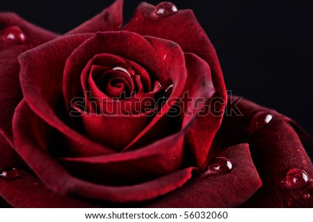Red rose with raindrops on black background - stock photo