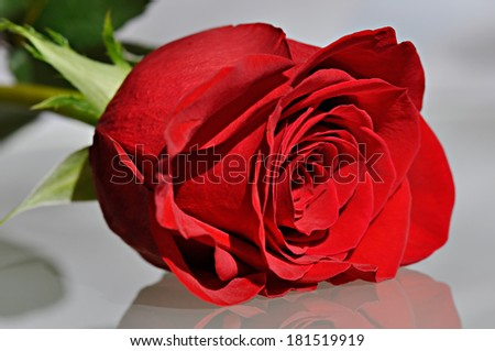 Red rose with reflection of light off a mirror. - stock photo
